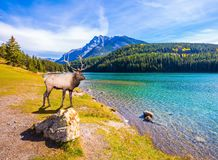 Noble deer with branched horns. A magnificent noble deer with branched horns resting by the lake. The picturesque lake with emerald water in the Rocky Mountains Stock Images