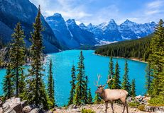 Noble deer with branched horns stands on the high bank of Moraine Lake. Canadian Rockies, Province of Alberta. The concept of stock images