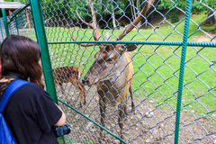The Noble Deer. In The Cage Stock Images