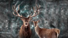 Free Noble Deer Family In Winter Snow Forest. Artistic Winter Christmas Landscape. Winter Wonderland. Royalty Free Stock Image - 162034406
