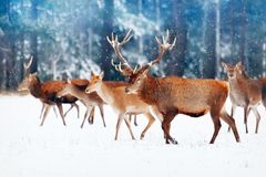 A noble deer with females in the herd against the background of a beautiful winter snow forest. Artistic winter landscape. Christm. As image. Selective focus royalty free stock photos