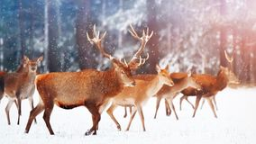 A noble deer with females in the herd against the background of a beautiful winter snow forest. Artistic winter landscape. Stock Photo