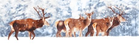 A noble deer with females in the herd against the background of a beautiful winter snow forest. Artistic winter landscape. stock photography