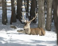 Noble deer in the winter forest royalty free stock photography