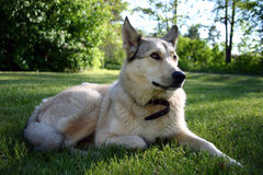Noble dog. German shepard and laika breed mix stock images