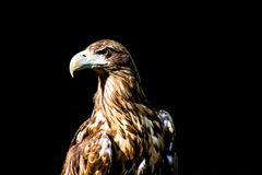 Noble eagle, photo on a black background. Aquila rapax Royalty Free Stock Photos
