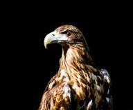 Noble eagle, photo on a black background. Aquila rapax Stock Image