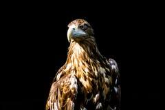 Noble eagle, photo on a black background. Aquila rapax Stock Photo