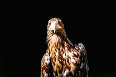 Noble eagle, photo on a black background. Aquila rapax Royalty Free Stock Image