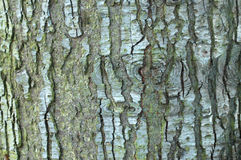 Noble Fir Bark. Pattern and Texture Stock Photo