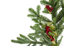 Noble fir bough with holly. And berries Royalty Free Stock Images