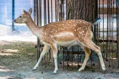 Noble gehende Damhirschkuh/Rotwild, am zoologischen Park stockfotos