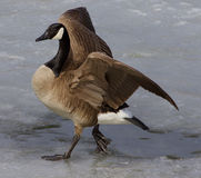 Noble goose Royalty Free Stock Photo