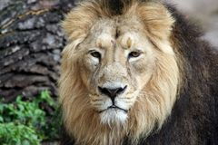 Noble Lion Portrait. A close up portrait of a noble lion seen here lying on the floor in a full body portrait Stock Image