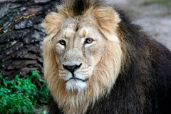 Noble Lion portrait Royalty Free Stock Photography