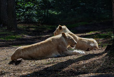 Noble lioness resting Royalty Free Stock Image