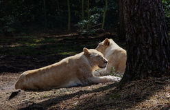 Noble lioness resting Stock Images