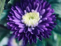 Noble and mysterious purple chrysanthemum royalty free stock image