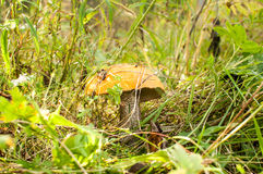 Noble orange-cap boletus mushroom Royalty Free Stock Images