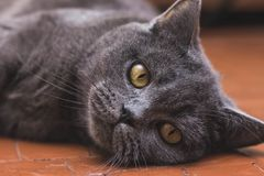 Noble proud cat lying on window sill. The British Shorthair with gray. Noble proud cat lying on window sill. The British Shorthair with blue gray fur Royalty Free Stock Images