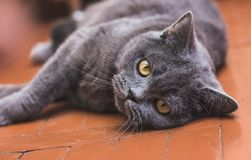 Noble proud cat lying on window sill. The British Shorthair with gray. Noble proud cat lying on window sill. The British Shorthair with blue gray fur Royalty Free Stock Image
