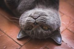 Noble proud cat lying on window sill. The British Shorthair with gray. Noble proud cat lying on window sill. The British Shorthair with blue gray fur Stock Photography