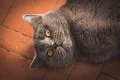 Noble proud cat lying on window sill. The British Shorthair with gray. Noble proud cat lying on window sill. The British Shorthair with blue gray fur Stock Images