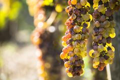 Noble rot of a wine grape, botrytised grapes Royalty Free Stock Images