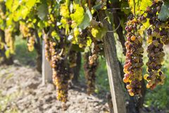 Noble rot of a wine grape, botrytised grapes Royalty Free Stock Photography