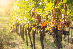 Noble rot of a wine grape,. Botrytised grapes in sunshine Royalty Free Stock Image
