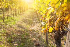 Noble rot of a wine grape, Royalty Free Stock Photo