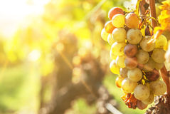 Noble rot of a wine grape,. Botrytised grapes in sunshine Stock Image