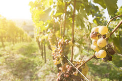 Noble rot of a wine grape, Stock Images