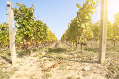 Noble rot of a wine grape, Royalty Free Stock Images