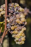 Noble rot of a wine grape, grapes with mold, Botrytis. Sauternes, France Stock Image