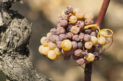 Noble rot of a wine grape, grapes with mold, Botrytis Royalty Free Stock Photos