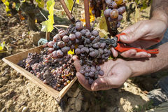Noble rot of a wine grape, grapes with mold, Botrytis. Sauternes, France Stock Photos