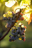 Noble rot of a wine grape, grapes with mold, Botrytis. Sauternes, France Royalty Free Stock Images