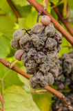 Noble rot wine grape, grapes with mold, Botrytis, Sauternes Stock Photography