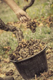 Noble rot wine grape, grapes with mold, Botrytis, Sauternes Royalty Free Stock Image