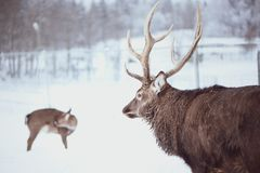 Noble Sika deer , Cervus nippon, spotted deer. Walking in the snow on a white background royalty free stock photography