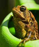 Noble Toad. A noble toad lords over the garden stock photography