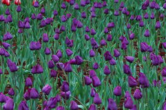 Noble tulips Ah Stock Photo
