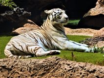 Noble a White Bengal Tiger is resting in the bosom of nature. The white bengal tiger lies among stones Stock Photo