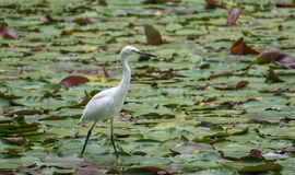 Noble white heron. In a Chinese Park Royalty Free Stock Photography