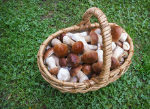 Noble white mushrooms in a wicker basket. On the lawn Royalty Free Stock Image