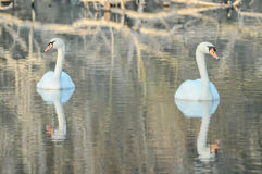 Noble White Swan. In the Water Surface Royalty Free Stock Photography