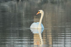 Noble White Swan Royalty Free Stock Images