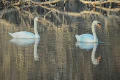 Noble White Swan Royalty Free Stock Photos