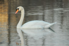 Noble White Swan Stock Image